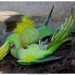 Кольчатый попугай - содержание
