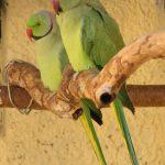 Кольчатый попугай - уход