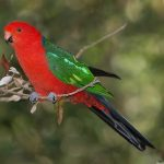 Королевский попугай - красивый вид
