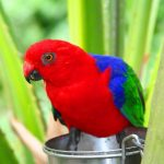 Королевский попугай - средний вид