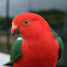 Королевский попугай - яркий вид