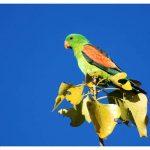 Краснокрылый попугай - дружелюбный вид