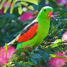 Краснокрылый попугай - уход