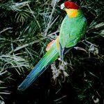Красношапочные попугаи - активный вид