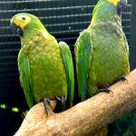 Красный попугай ара - уход