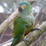 Красный попугай ара - застенчивый вид