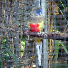 Кровавобрюхие плоскохвостые попугаи - дружелюбный вид