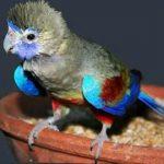 Кровавобрюхие плоскохвостые попугаи - особенности вида