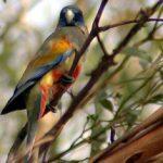 Кровавобрюхие плоскохвостые попугаи - спокойный вид