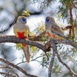 Кровавобрюхие плоскохвостые попугаи - уход