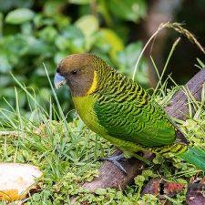 Ленточный попугай - редкий вид