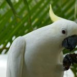 Малый желтохохлый какаду - контактная порода