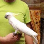 Малый желтохохлый какаду - описание породы