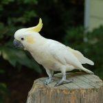 Малый желтохохлый какаду - особенности породы