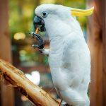 Малый желтохохлый какаду - уход