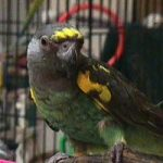 Мейеров длиннокрылый попугай - дружелюбный вид