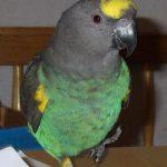 Мейеров длиннокрылый попугай - игривый вид