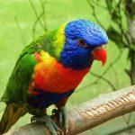 Многоцветный попугай лорикет - доброжелательная порода