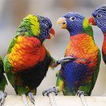 Многоцветный попугай лорикет - описание породы