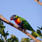 Многоцветный попугай лорикет - особенности породы