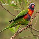 Многоцветный попугай лорикет - яркая порода