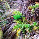 Новогвинейские горные лори - содержание