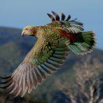 Орлиный кеа - попугай-хулиган