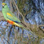 Плоскохвостый попугай - дружелюбный вид