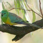 Плоскохвостый попугай - описание вида