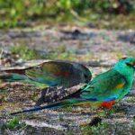 Плоскохвостый попугай - особенности вида