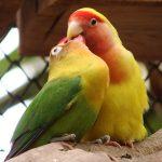Попугаи неразлучники - дружелюбный вид