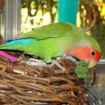 Попугаи неразлучники - обучаем речи