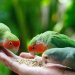 Попугаи неразлучники - содержание