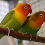Попугаи неразлучники - верный вид