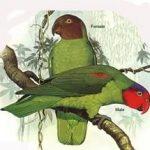 Попугай Жоффруа - описание вида