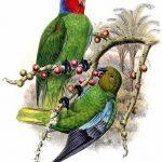 Попугай Жоффруа - пугливый вид