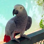 Попугай жако - доброжелательный вид