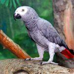 Попугай жако - особенности вида
