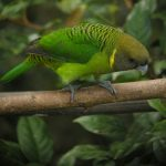 Ленточный попугай - описание вида