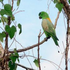 Ракетохвостый попугай - дикий вид