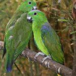 Ракетохвостый попугай - особенности вида