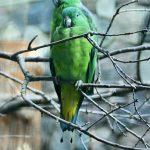 Ракетохвостый попугай - редкий вид