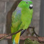 Ракетохвостый попугай - тропический вид
