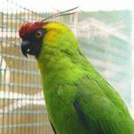 Рогатые попугаи - крупный вид