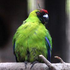 Рогатые попугаи - редкий вид