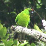 Рогатые попугаи - уход