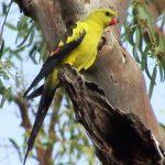 Роскошный попугай - дружелюбный вид