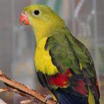 Роскошный попугай - особенности вида