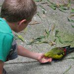 Роскошный попугай - шумный вид