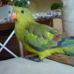 Роскошный попугай - содержание